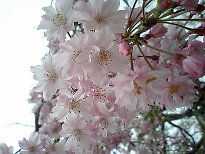 福岡の花見